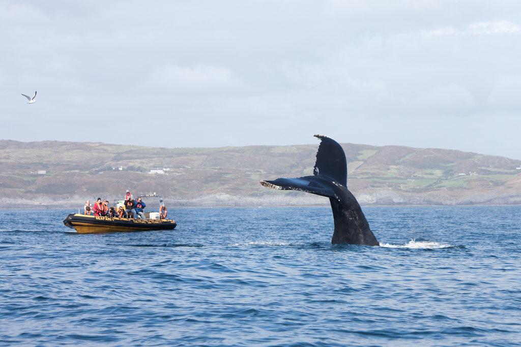 Humpback whale dives near Baltimore Sea Safari in West Cork